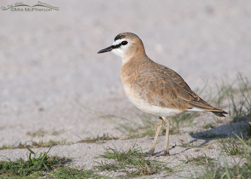Mountain Plover on Antelope Island State Park