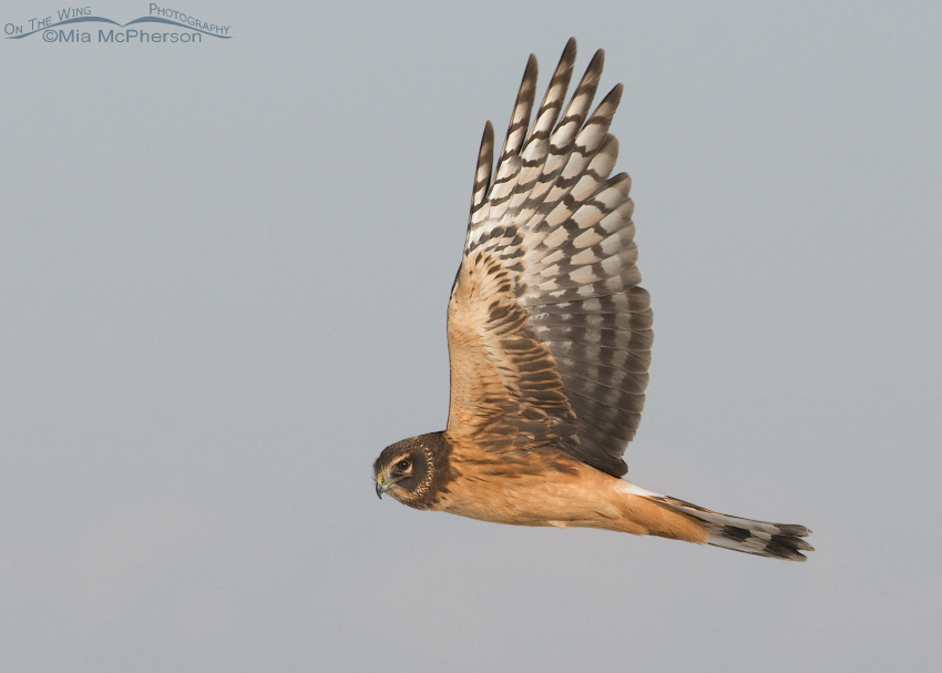Female juvenile Northern Harrier in flight