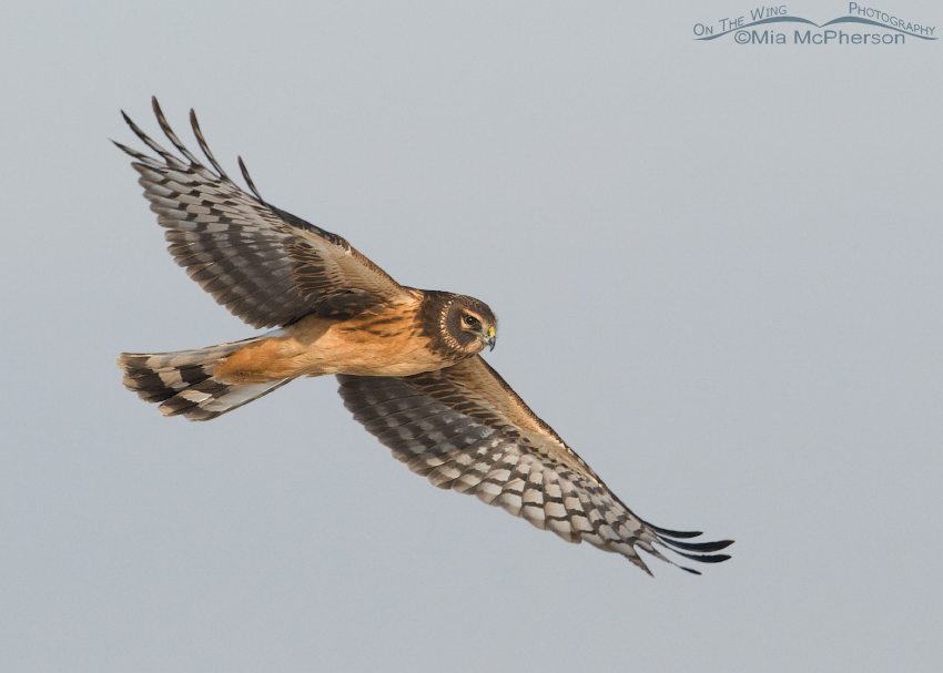 Female juvenile Northern Harrier flying