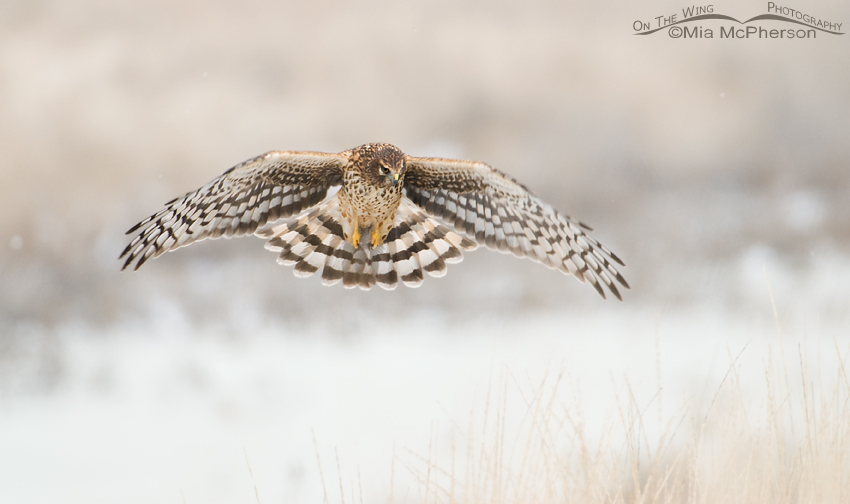 Northern Harrier hunting on a low light winter day