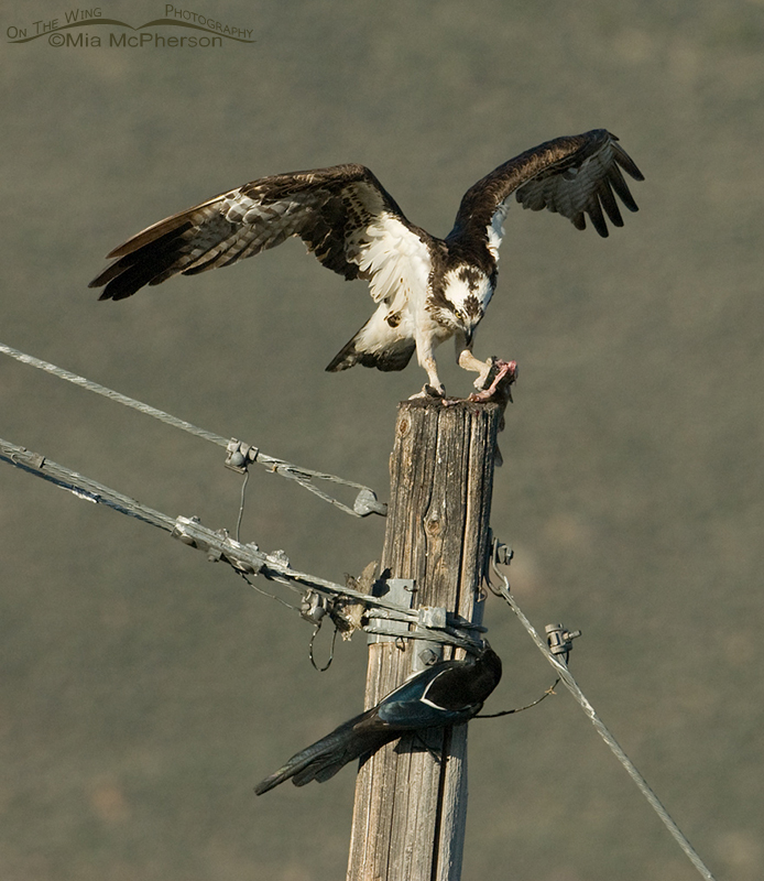 Osprey - Black-billed Magpie Fish Fight