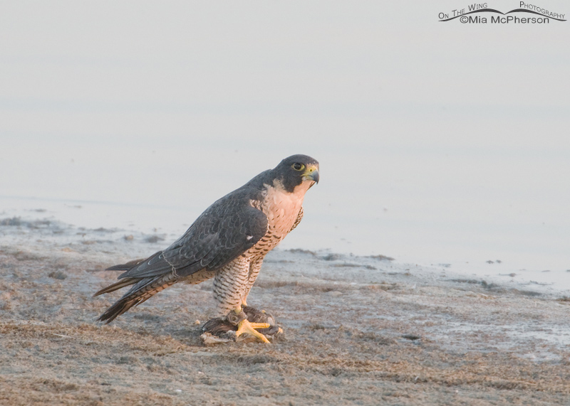 Peregrine Falcon - Escaped Falconry Bird- sighted September 17, 2012