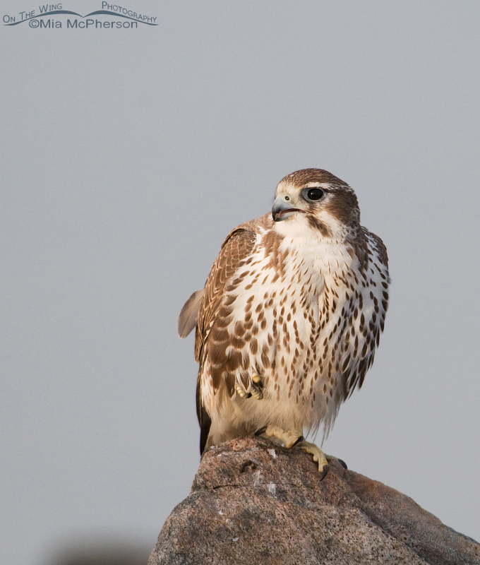 Perched Prairie Falcon