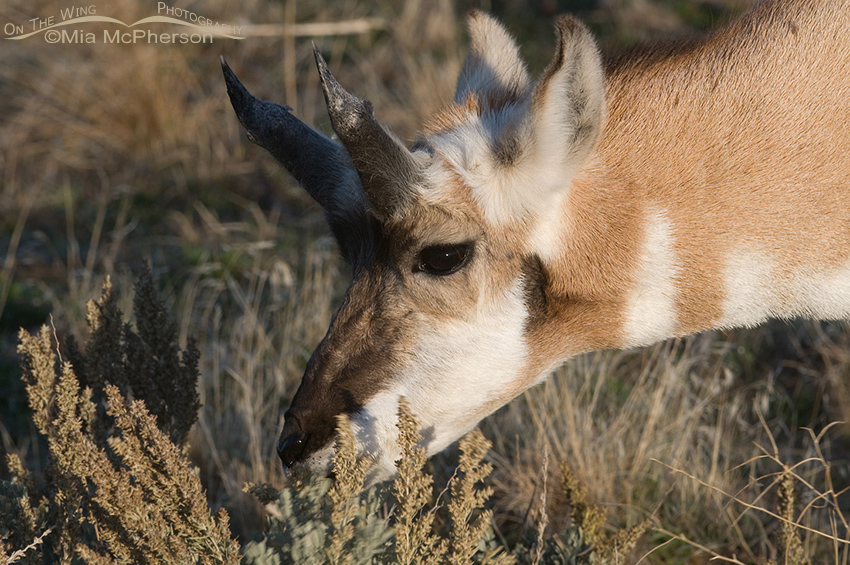 Pronghorn buck in horn regrowth