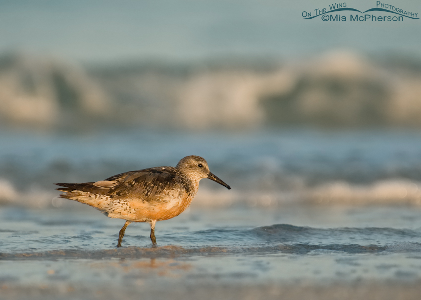 Red Knot going out of breeding plumage
