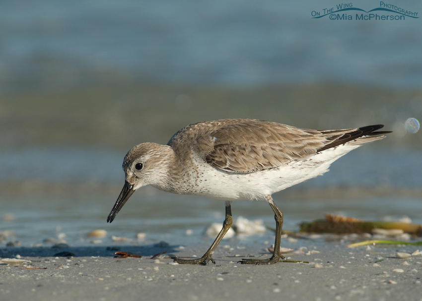 Foraging Red Knot