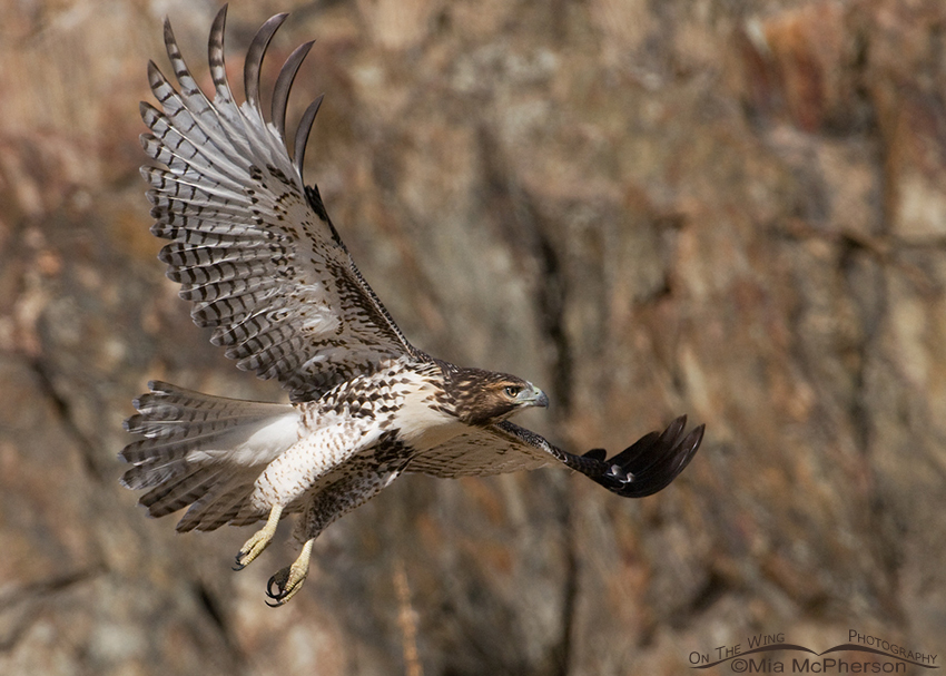 Red-tailed juvenile flying past a dark rock face