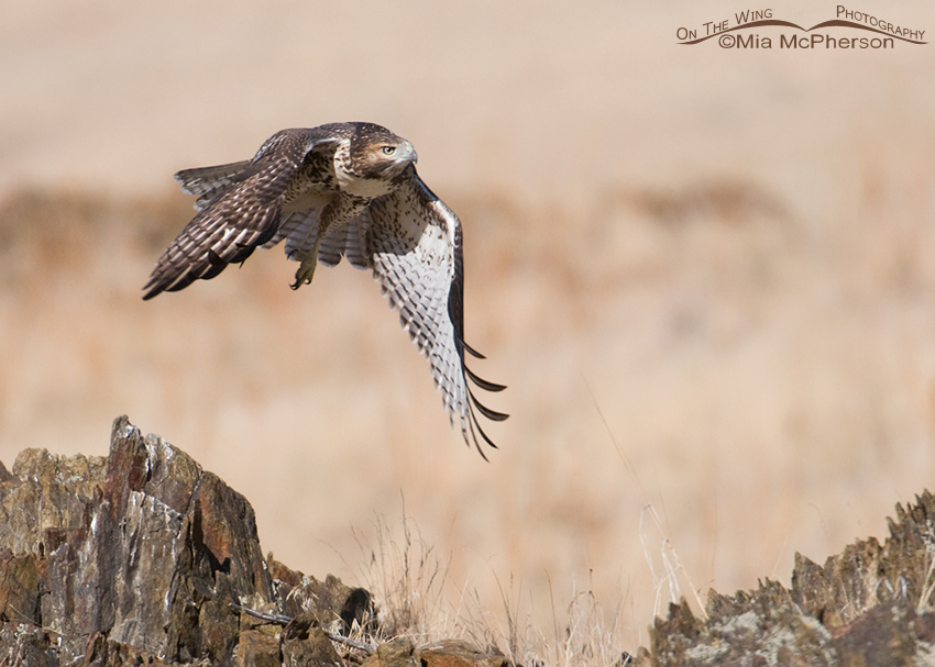Juvenile Red-tailed right after lift off