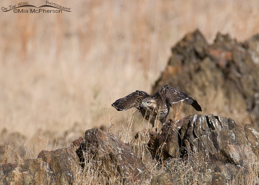 Red-tailed juvenile crouching for lift off