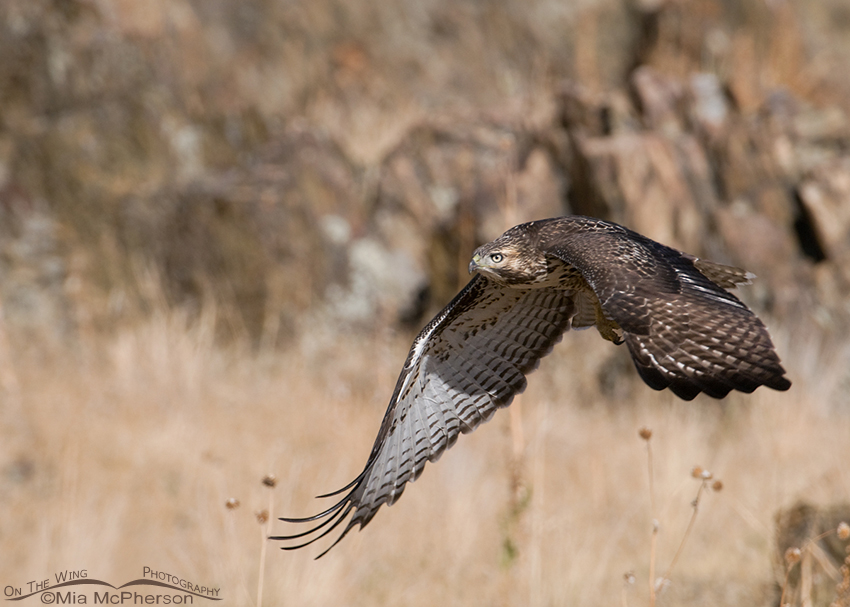 Juvenile Red-tailed Hawk in flight