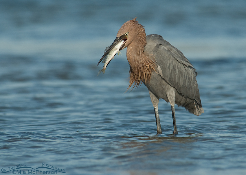 Reddish Egret with prey