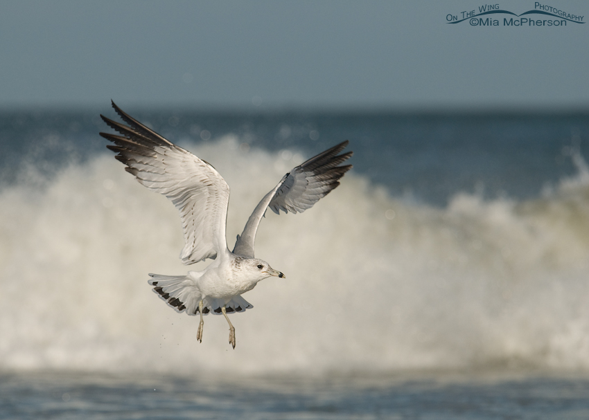 Ring-billed Gull in front of crashing waves
