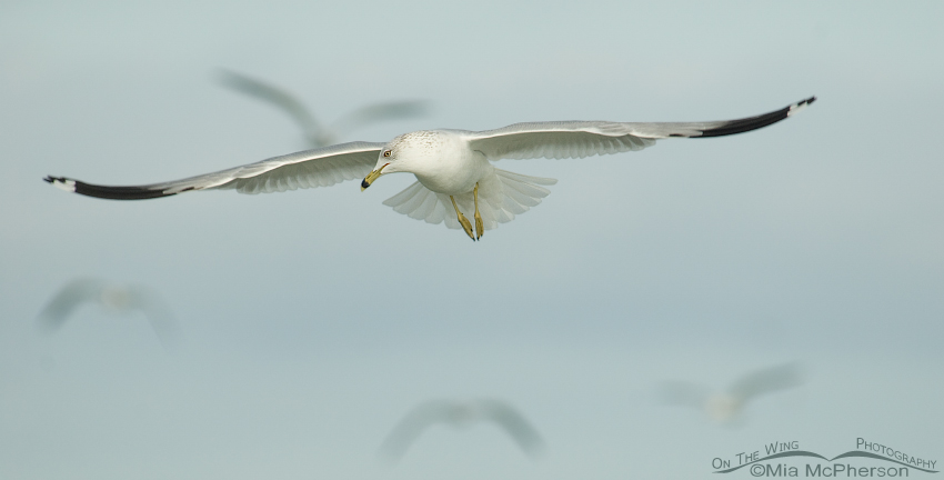 Ring-billed Gull floating on a breeze