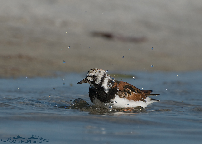 Bathing Ruddy Turnstone