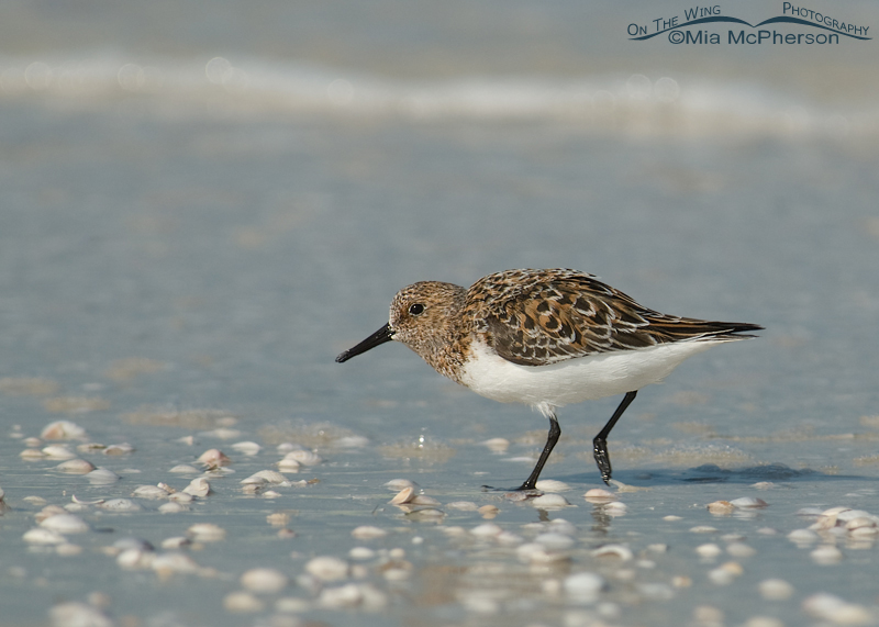 Breeding plumage adult Sanderling