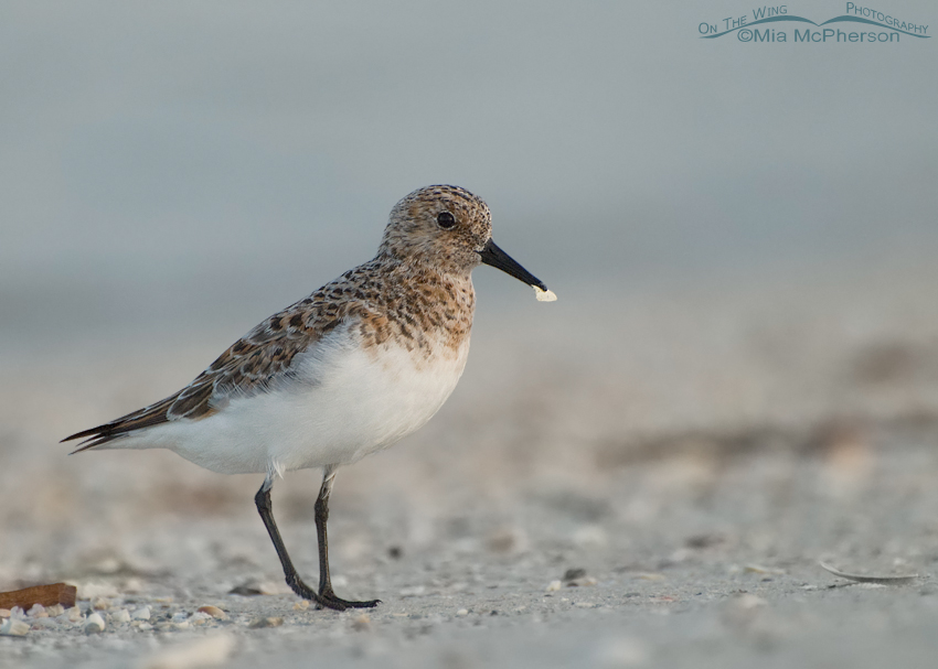 Sanderling in sea fog