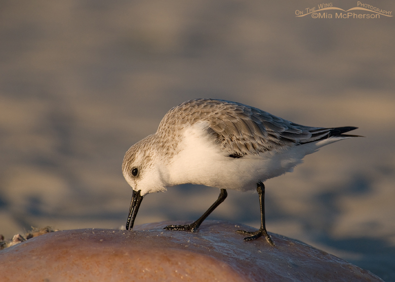 Sanderling feeding on a Penn Shell