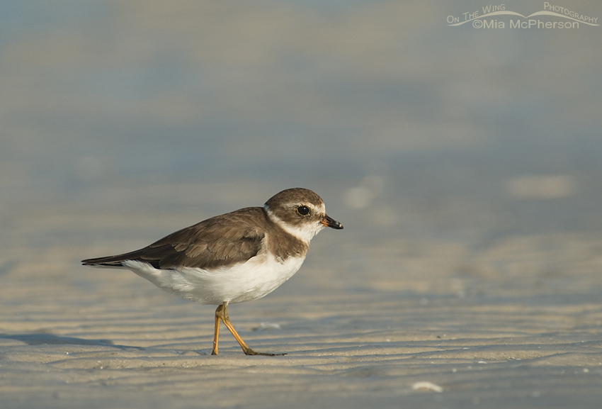 Semipalmated Plover on the mudflats