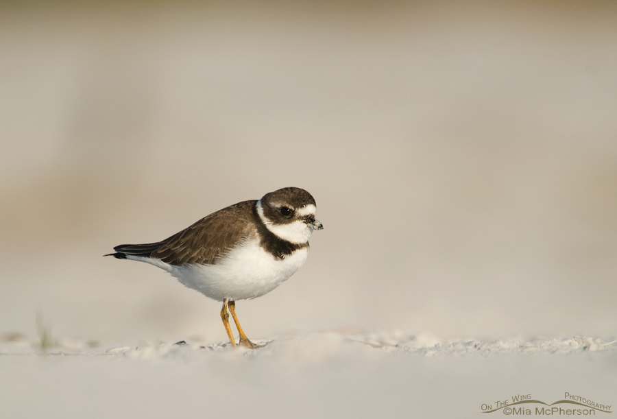 Semipalmated Plover in the sand