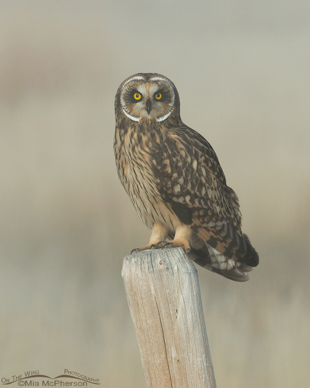 Vertical Short-eared Owl female