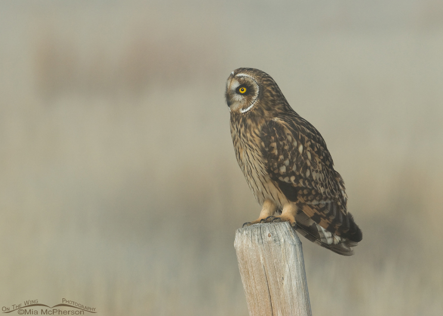 Horizontal Short-eared Owl female