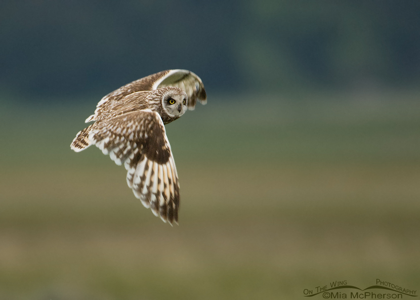 Male Short-eared Owl in flight, Red Rock Lakes NWR, Montana
