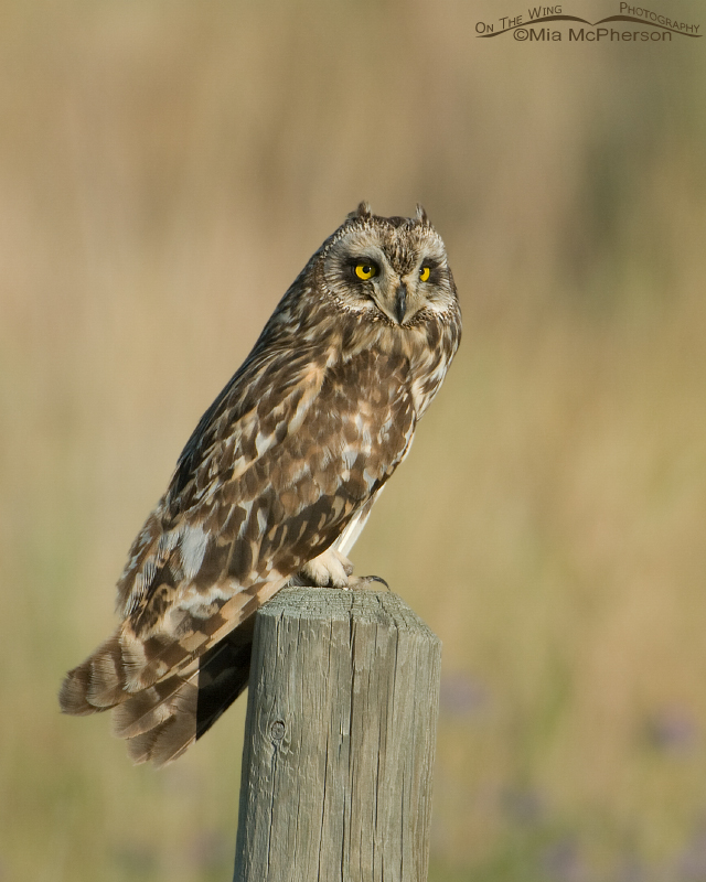Short-eared Owl in Glacier County, Montana