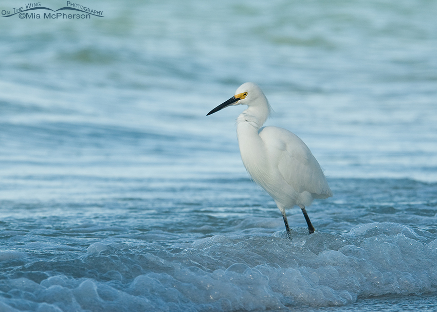 Snowy Egret Blues
