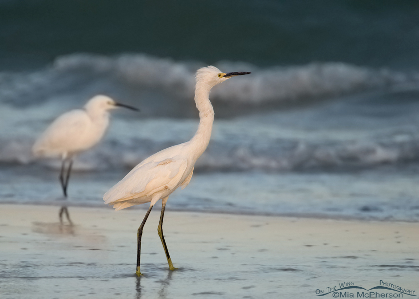 Snowy Egrets on a stormy morning
