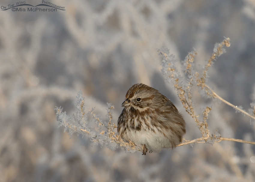 Song Sparrow in the frost