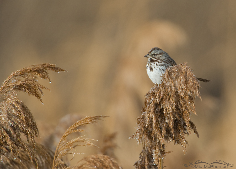 Song Sparrow on frosty phragmites