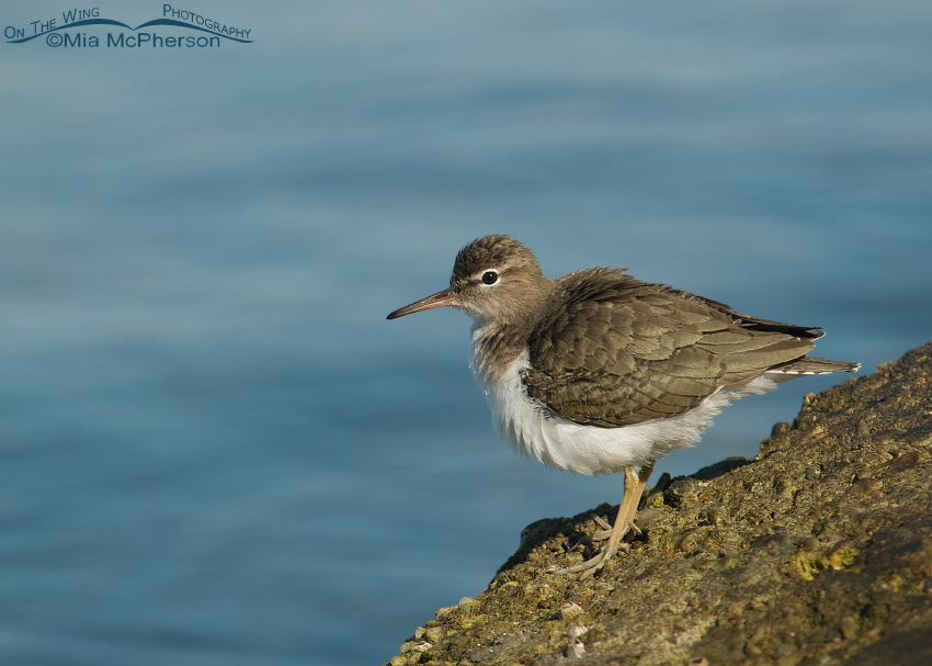 Spotted Sandpiper fluffing its feathers