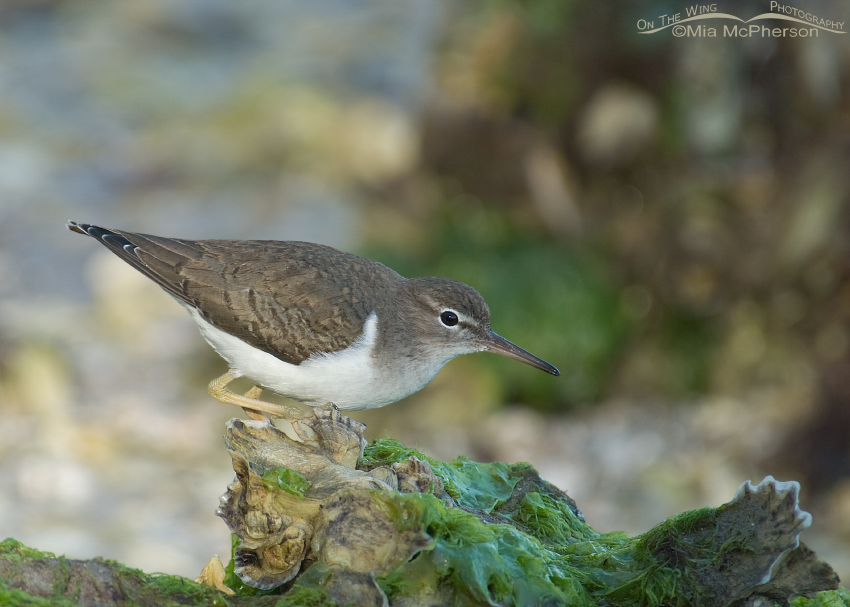 Spotted Sandpiper perched on oysters