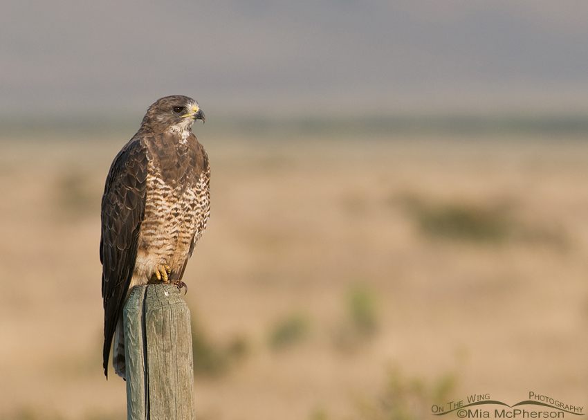 Swainson's Hawk in the Centennial Valley of Montana