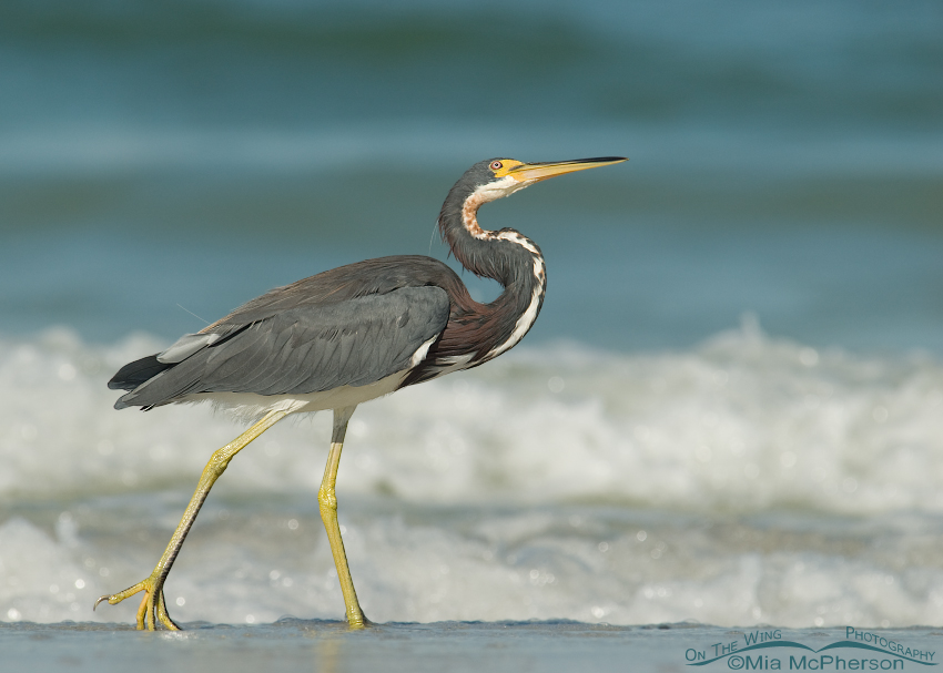 Tricolored Heron with head tilt