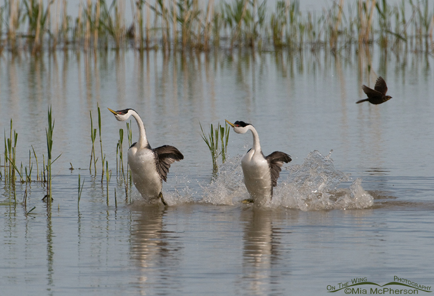 Rushing Western Grebes 1
