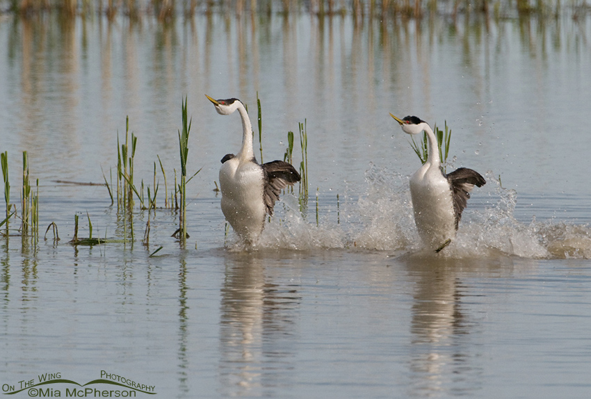 Rushing Western Grebes 2