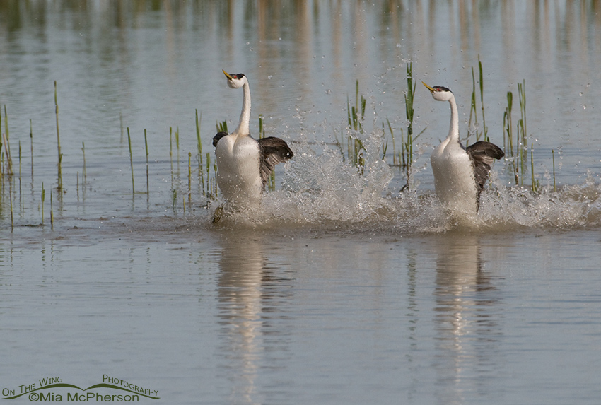 Rushing Western Grebes 4