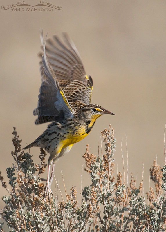 Western Meadowlark lifting off