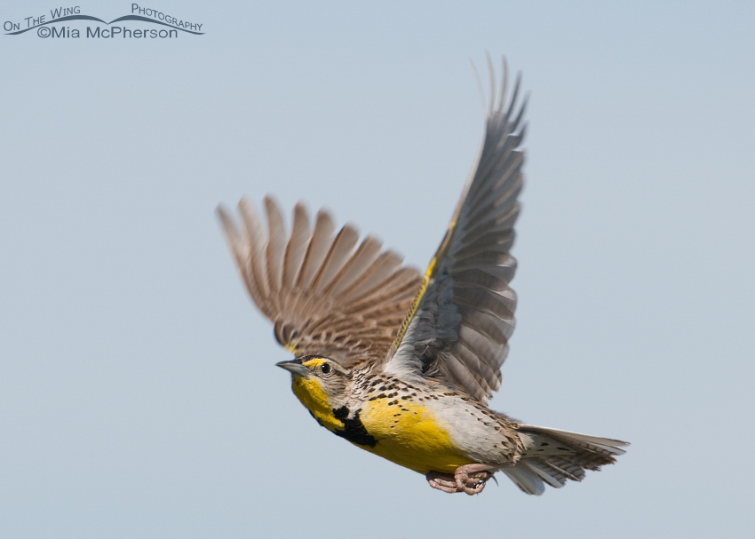Western Meadowlark in flight