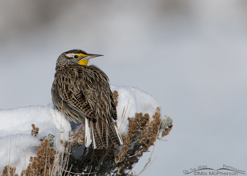 Western Meadowlark on snow-covered Sagebrush