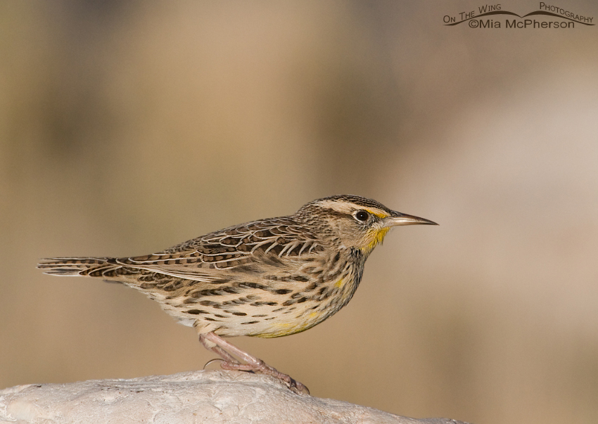 Western Meadowlark about to fly