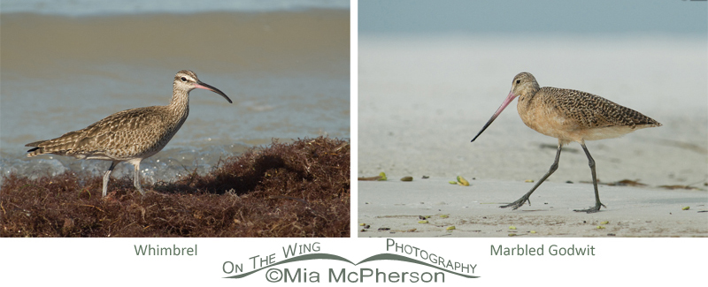 Whimbrel - Marbled Godwit comparison images