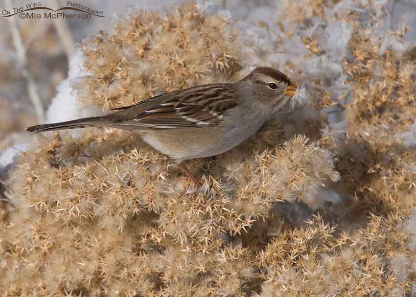 Juvenile White-crowned Sparrow with a frost covered seed