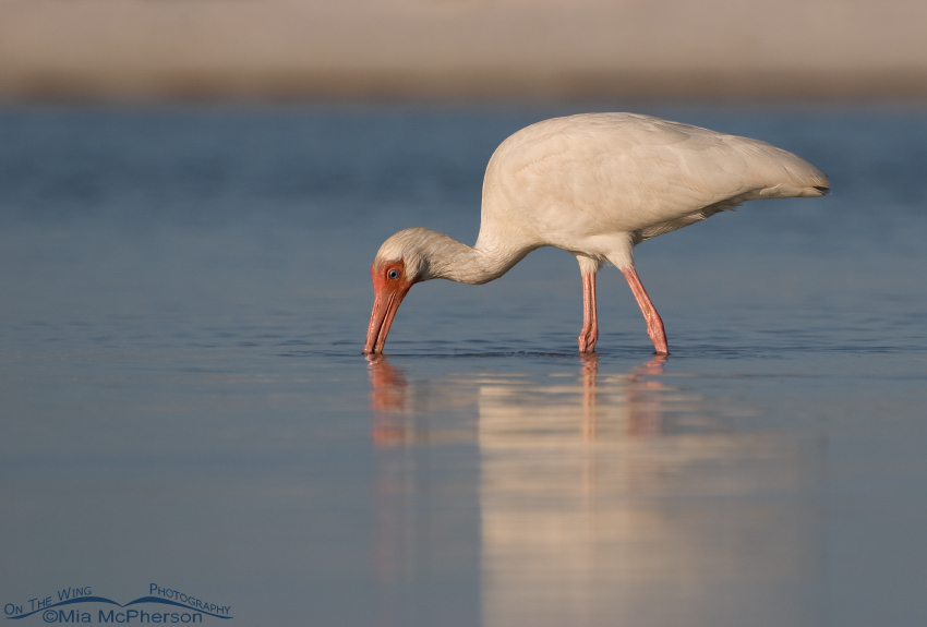 Adult White Ibis feeding in a tidal lagoon