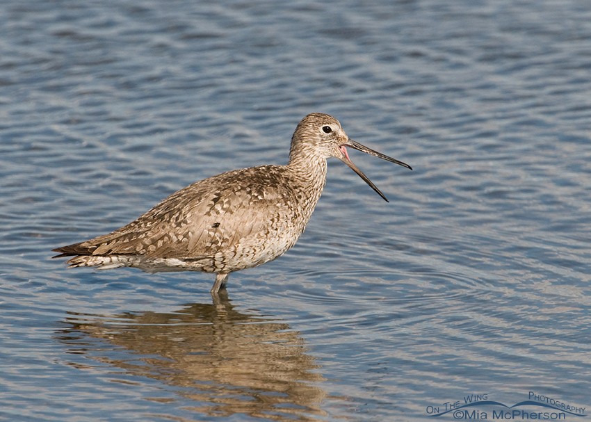 Calling adult Willet