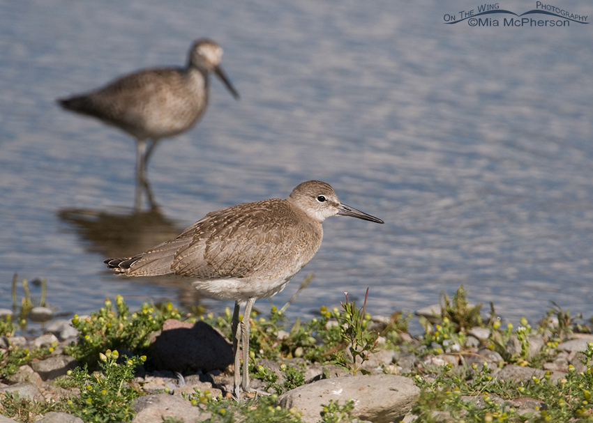 Juvenile Willet on a lake shore