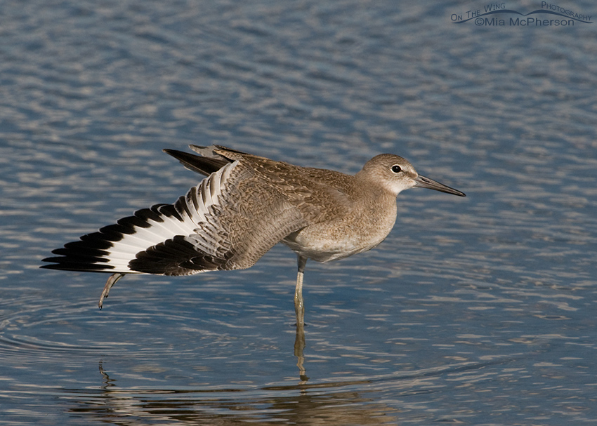Juvenile Willet stretching a wing