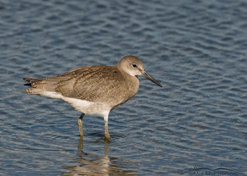 Juvenile Willet in the shallows