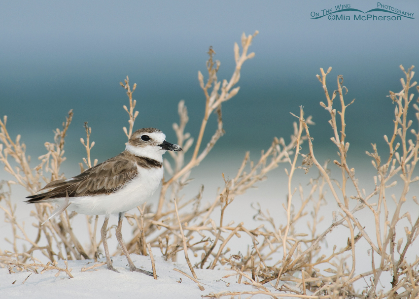 Wilson's Plover in dried Sea Purslane